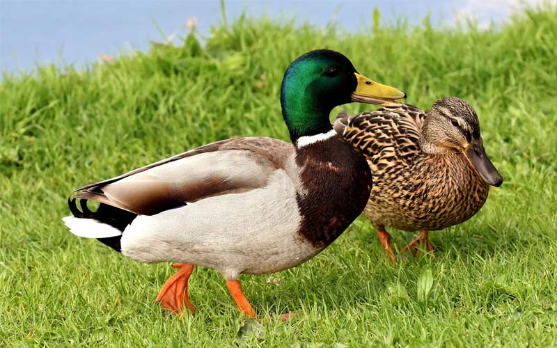 ClearFox® wastewater treatment in duck processing